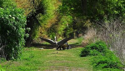 Heron Steals Baby Alligator Seen On www.coolpicturegallery.us