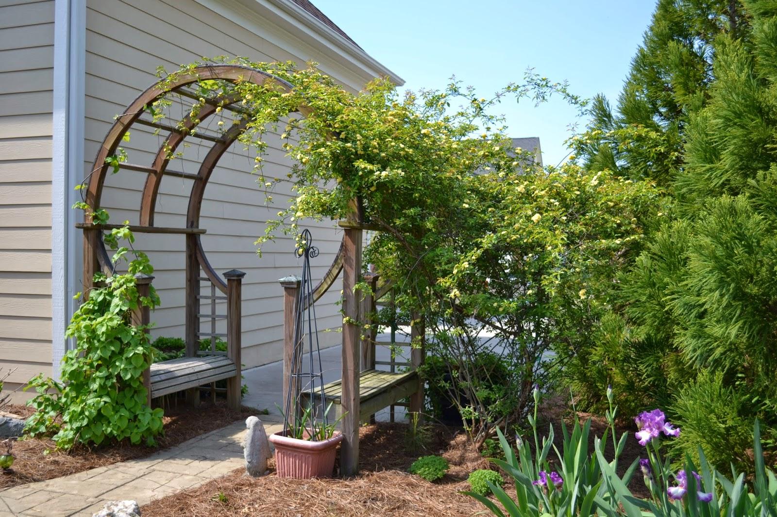 climbing-hydrangea-vine