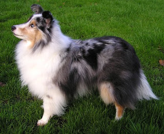 shetland sheepdog dog coat color pets info hound picture