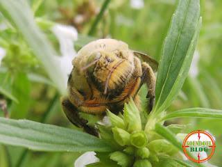 Foto Kumbang Menghisap Madu Bunga
