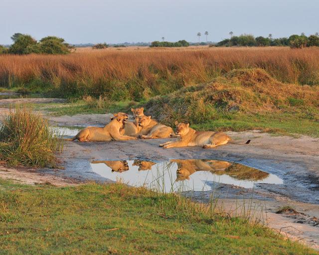 lioness-Botswana-Africa-pride-Duba Plains