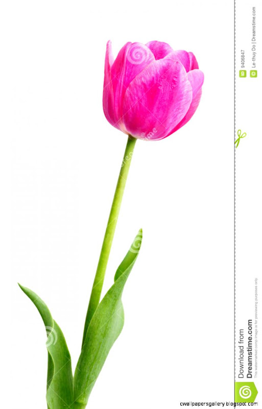 Single Early Pink Tulip Royalty Free Stock Photography   Image