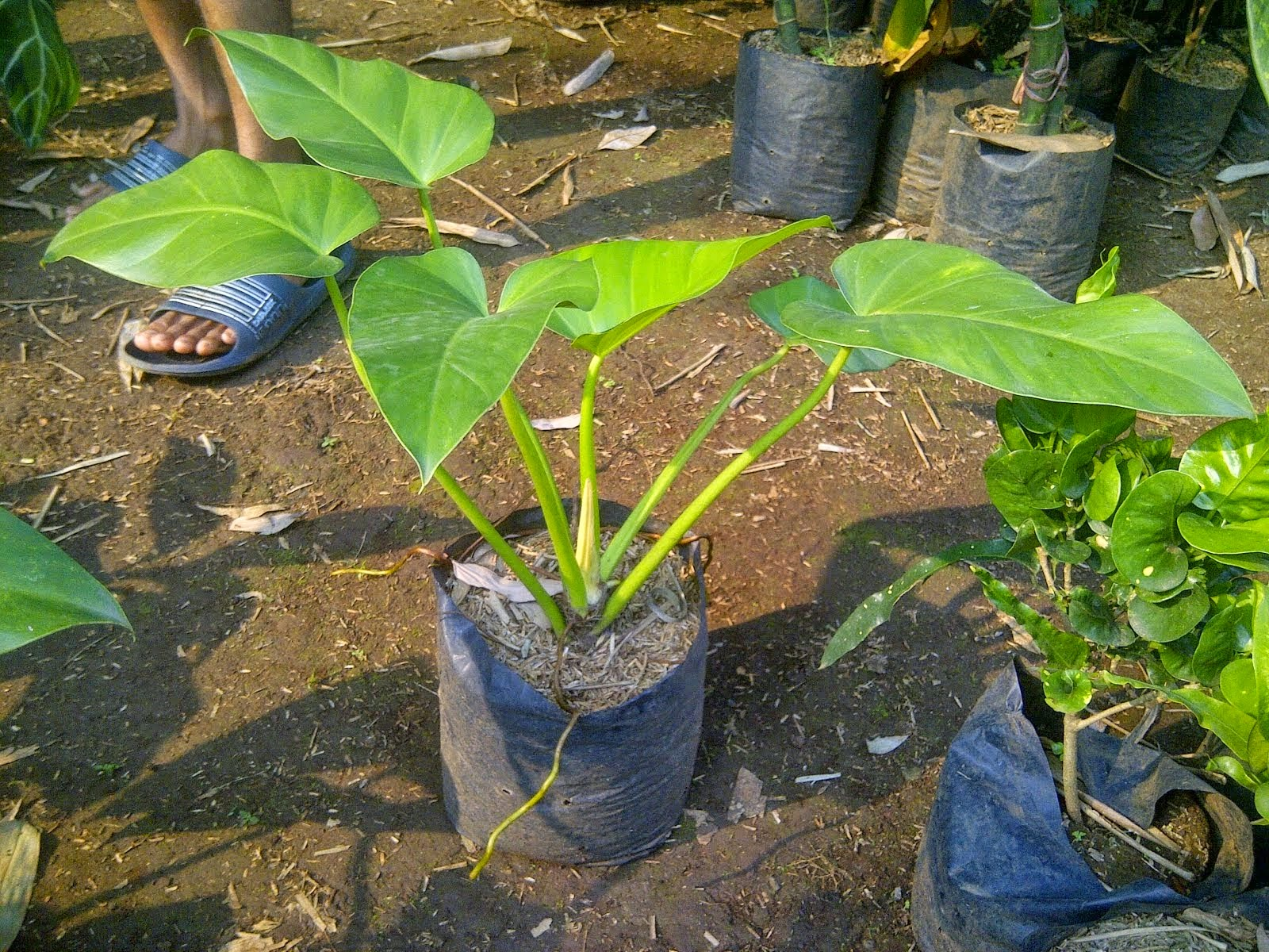 Jual pohon pilo marble | suplier tanaman | tanaman hias | jasa desain taman
