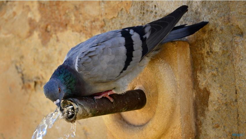 Pigeon Bird Drinking Water