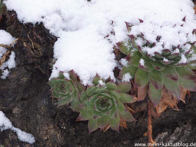 Bild des Monats 2013 - die Freilandsukkulente Sempervivum tectorum im Schnee