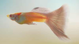 pink white male guppy