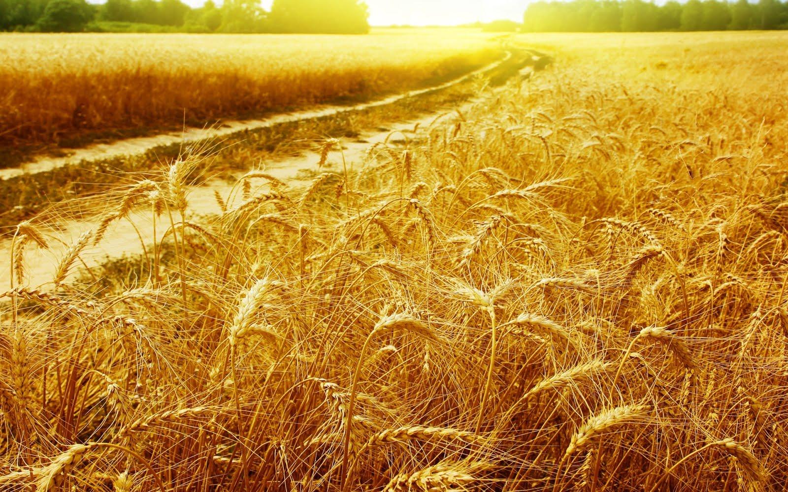 mamabishop fields of gold