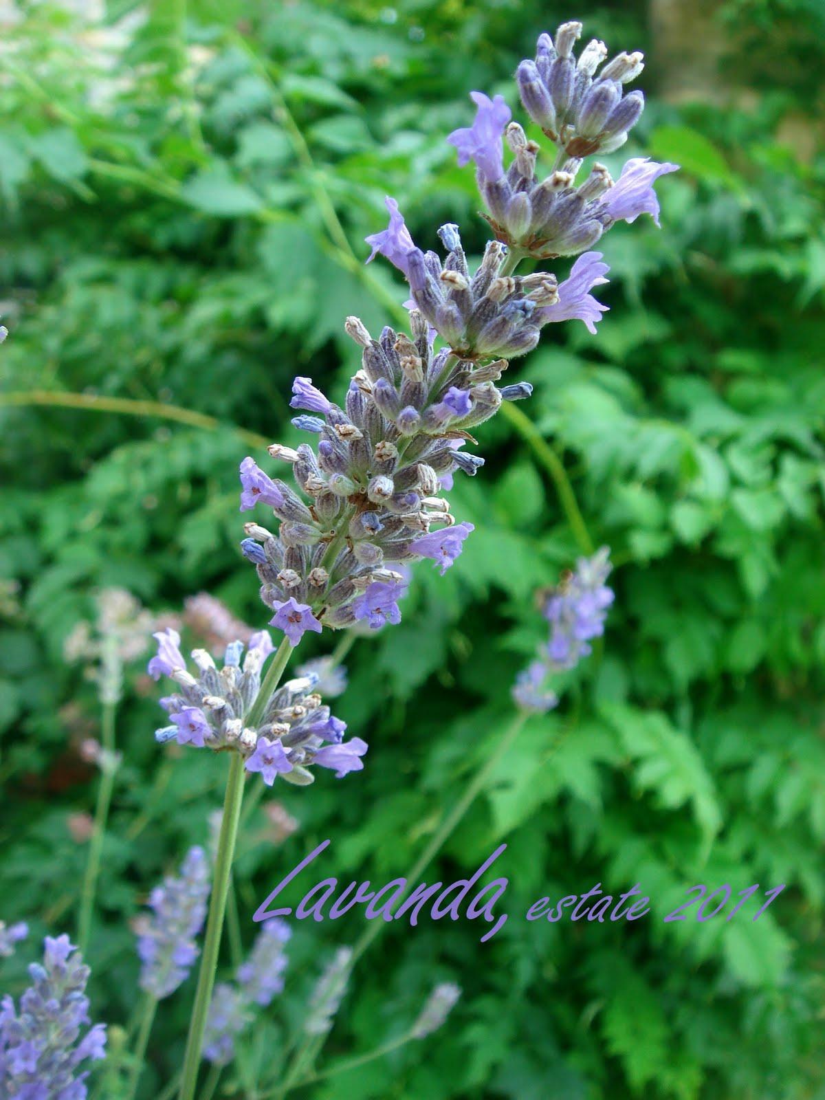 Dolcisognare plum cake al miele e fiori di lavanda for Fiori di lavanda