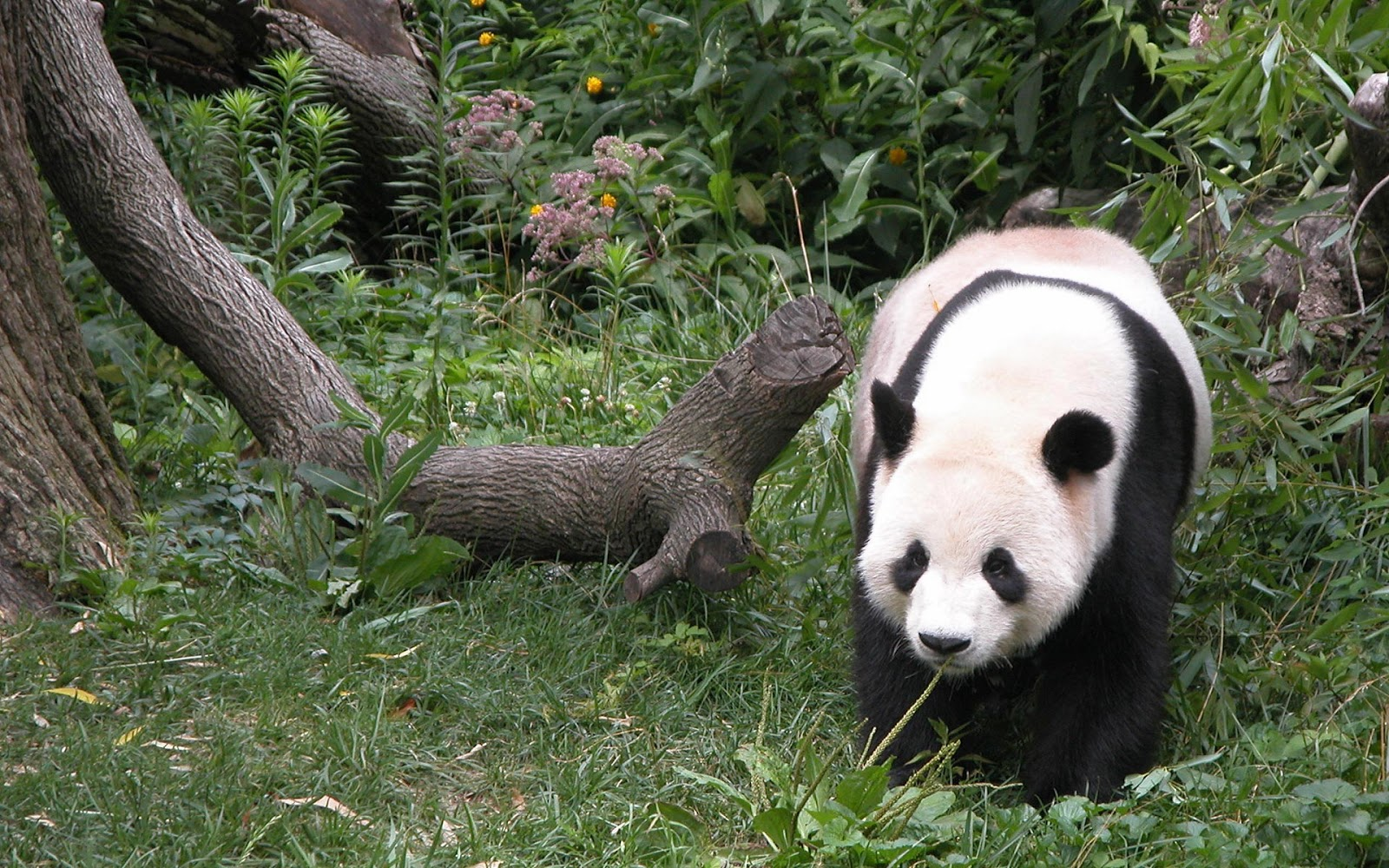 panda pictures hd wallpapers - photo #37