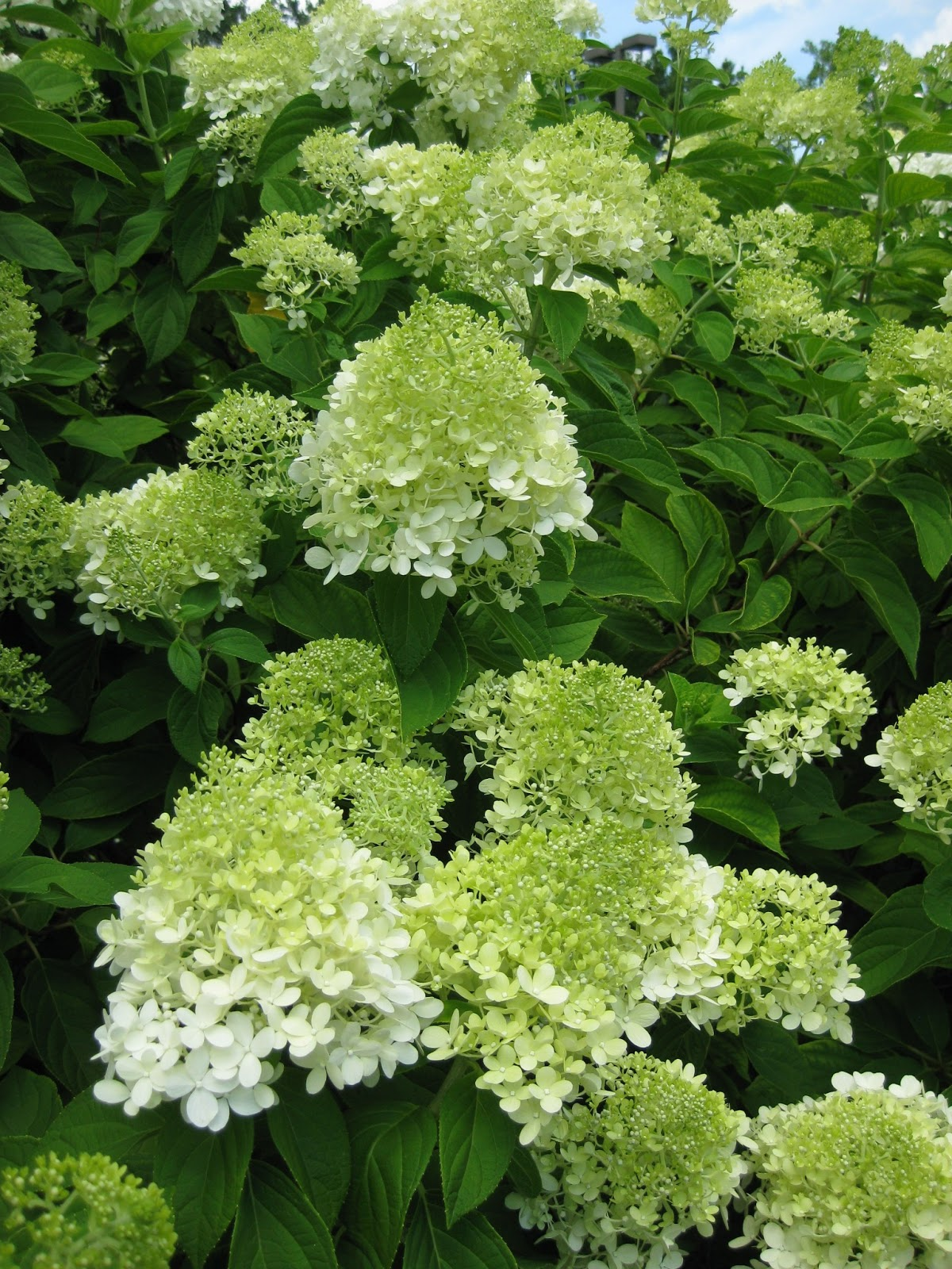 rotary botanical gardens hort blog panicled hydrangeas for a landscape punch. Black Bedroom Furniture Sets. Home Design Ideas