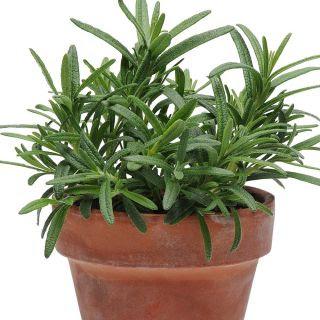 Simply Rosemary