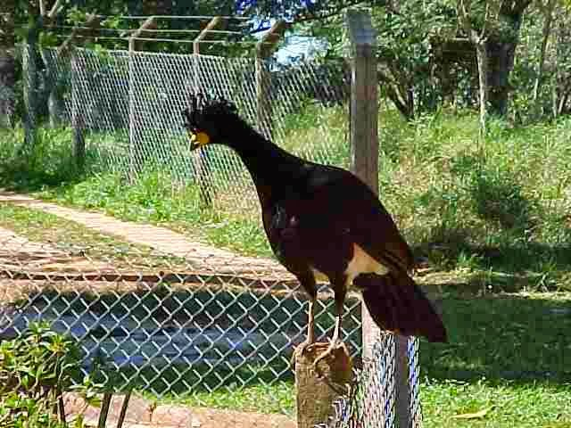 http://sciencythoughts.blogspot.co.uk/2014/07/belem-curassow-classified-as-critically.html