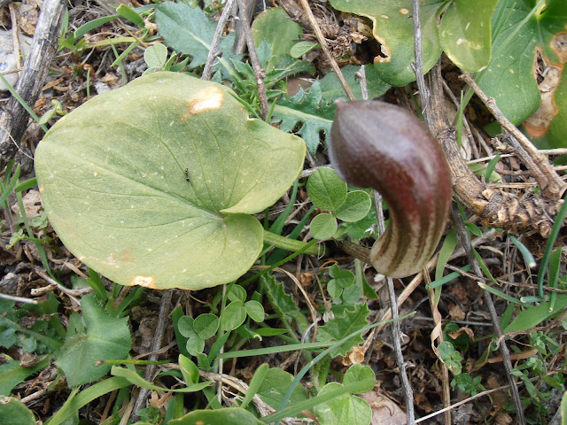 CANDILICOS-Arisarum-simorrhinum