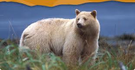 Spirit Bear and the Great Bear Rainforest