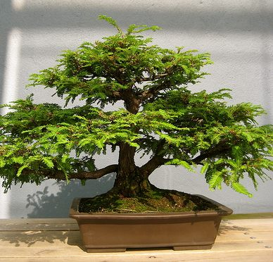 Como cuidar un bonsai consejos imagenes videos for Tierra para bonsais