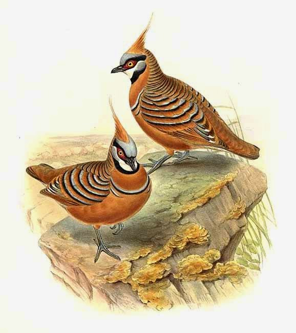Spinifex pigeon Geophaps plumifera
