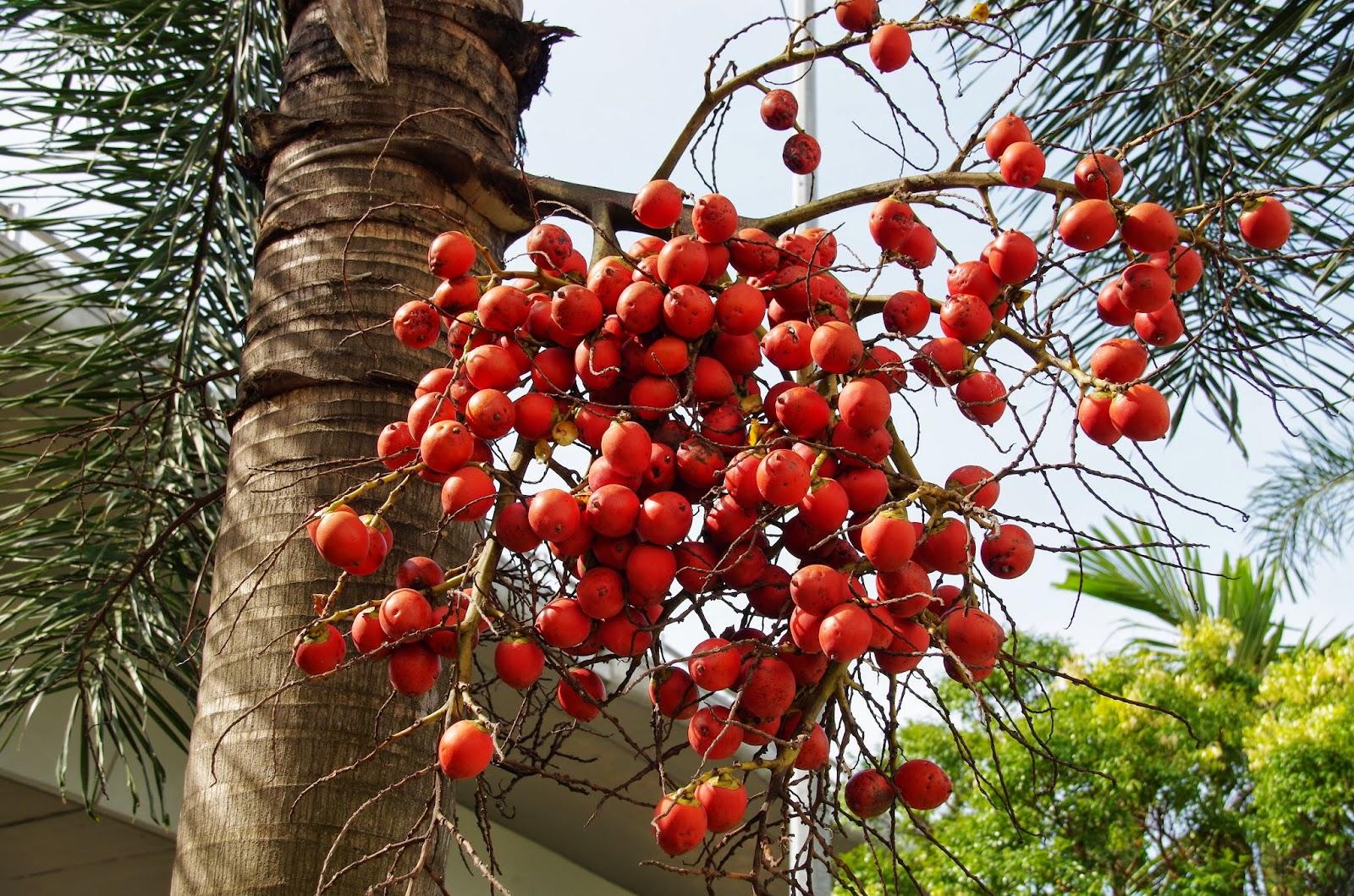 what is betel nut pdf