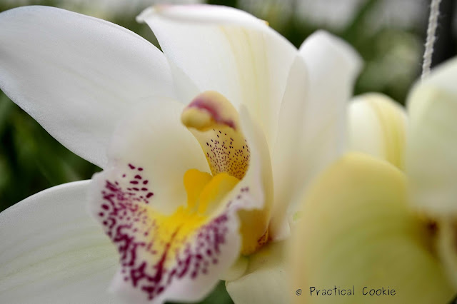 White Orchid from Duckitt Nurseries