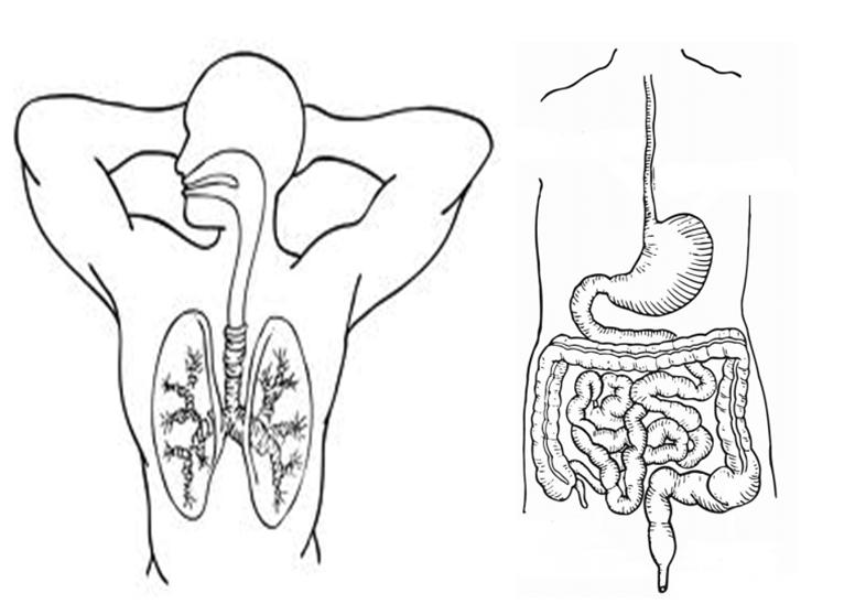 Sistema digestivo para colorear para niños sin nombres - Imagui