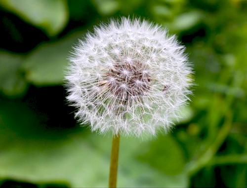 Трава аллерген одуванчик