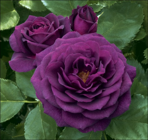 Most Beautiful Purple Rose Flower Wallpapers