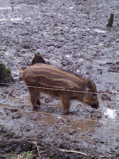 Boar at New Forest Wildlife Park