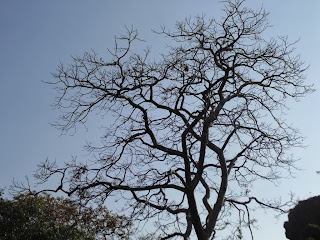 a deciduous tree