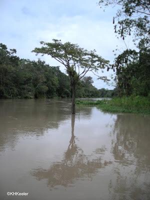 flooded forest, Amazonian Peru