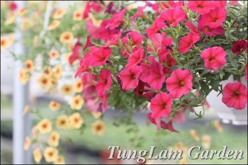 hoa chuông Million Bells, dạ yến thảo, dạ yến thảo rủ, miliion bells, hoa treo, hoa ban công, dạ yến thảo TungLam Garden