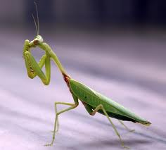 Praying Mantis images