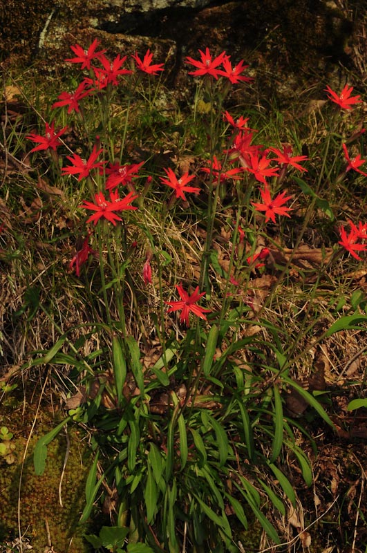 Wildflower ecology fire pink silene virginica fire pink silene virginica tends to be restricted to relatively open areas such as rocky slopes with shallow soils as it is a poor competitor mightylinksfo