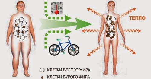 Бурая жировая ткань: протокол активации.
