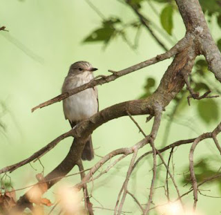 Spotted Flycatcher (James Hogg)