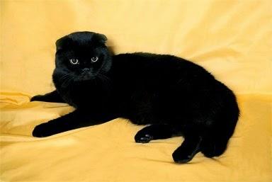 чёрный вислоухий шотландец фото