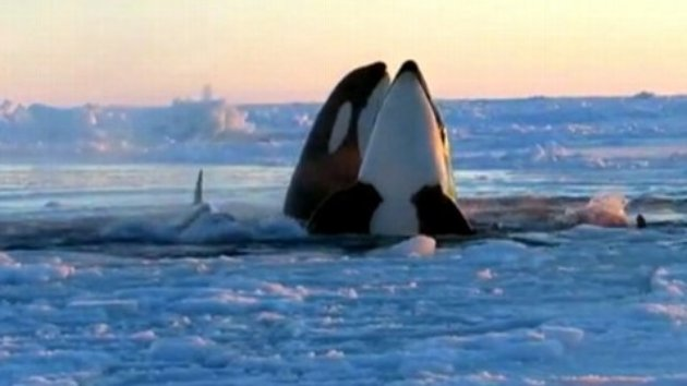 Whale Family Trapped In An Ice