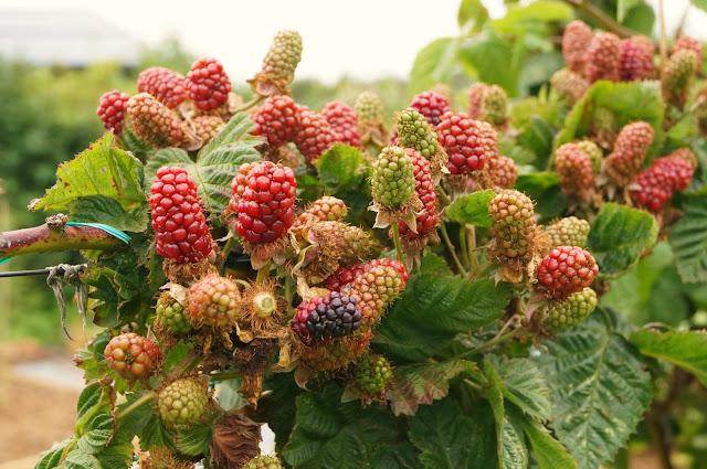 Blackberries ripening - 'growourown.blogspot.com' ~ an allotment blog