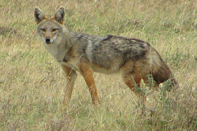 The African Golden Wolf