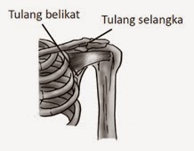 Tulang gelang dilihat dari depan