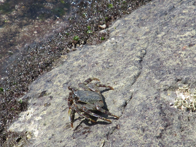 pic of crab @ Harihareshwar