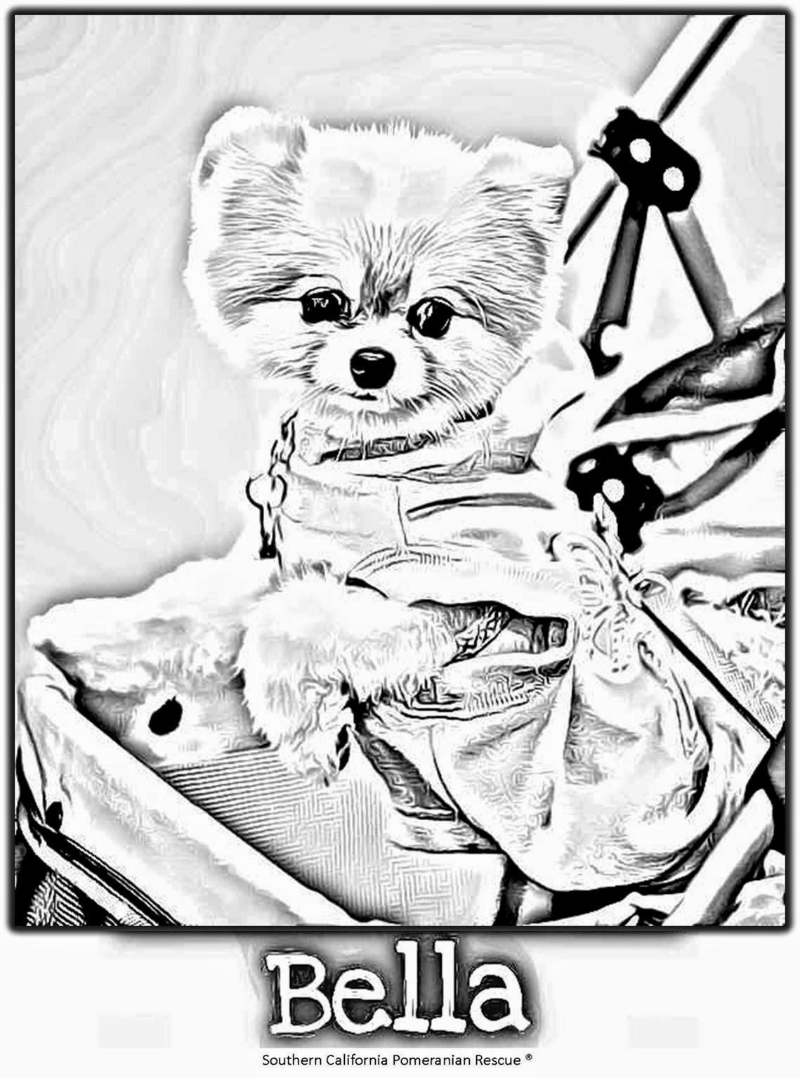 SoCalPomRescue SCPR: Bella Pomeranian - The 800 PetMEDS Dog