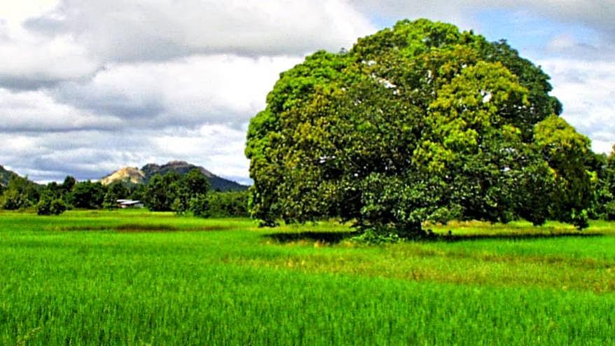 Reis Feld Thailand