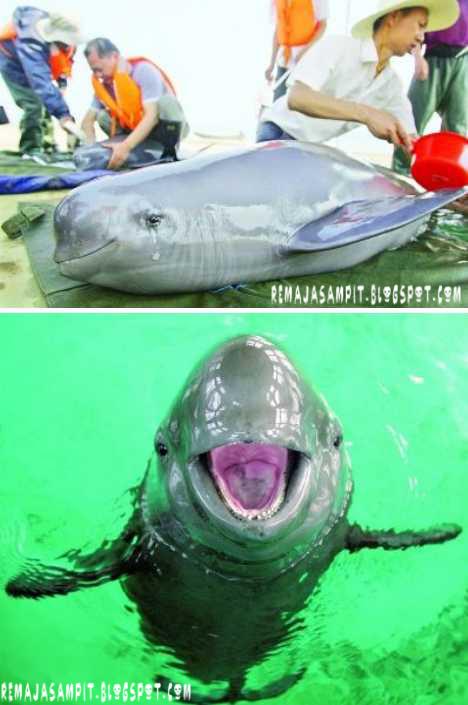 Finless porpoise smile