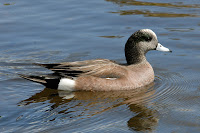 American Wigeon