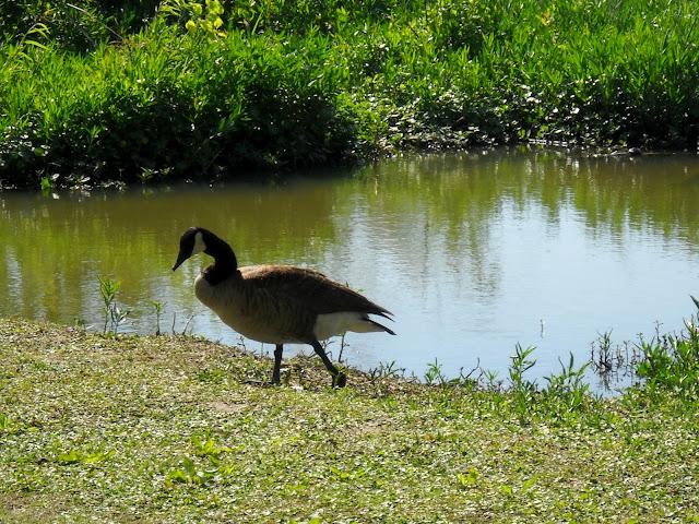 Migrating Canada Goose at Sunset Bay, White Rock Lake, Dallas, TX
