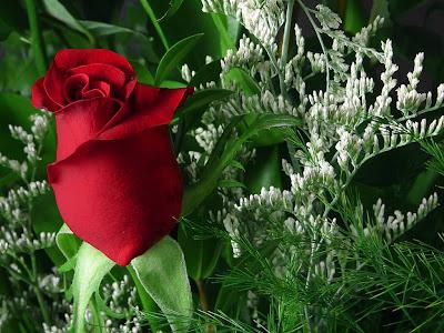 bunga mawar gambar warna merah indah