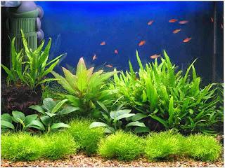 gambar-Microsorum-Pteropus-Narrow-Tanaman-fern-pakis-Aquascape