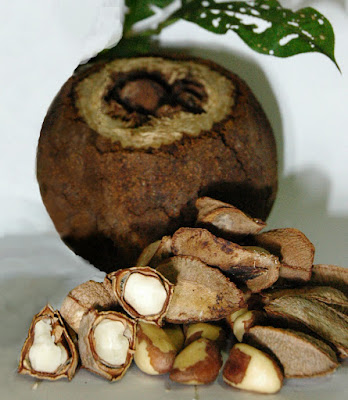 Brazil Nut (Bertholletia Excelsa) Overview, Health Benefits, Side effects