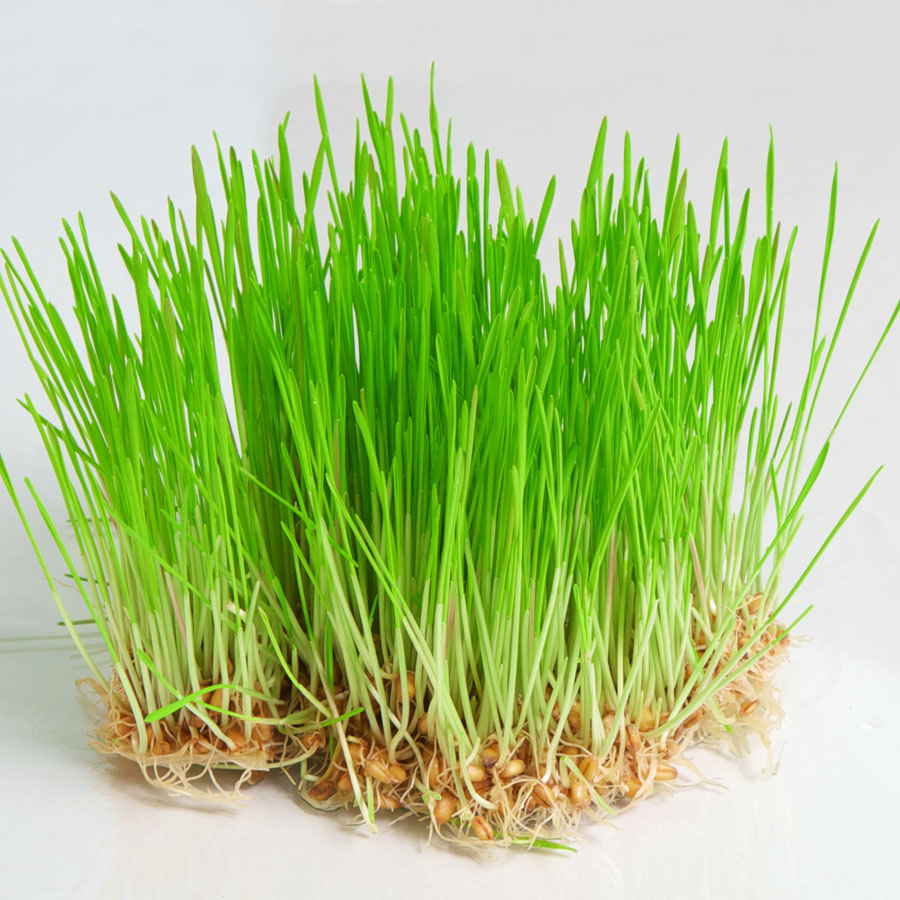 Wheat grads