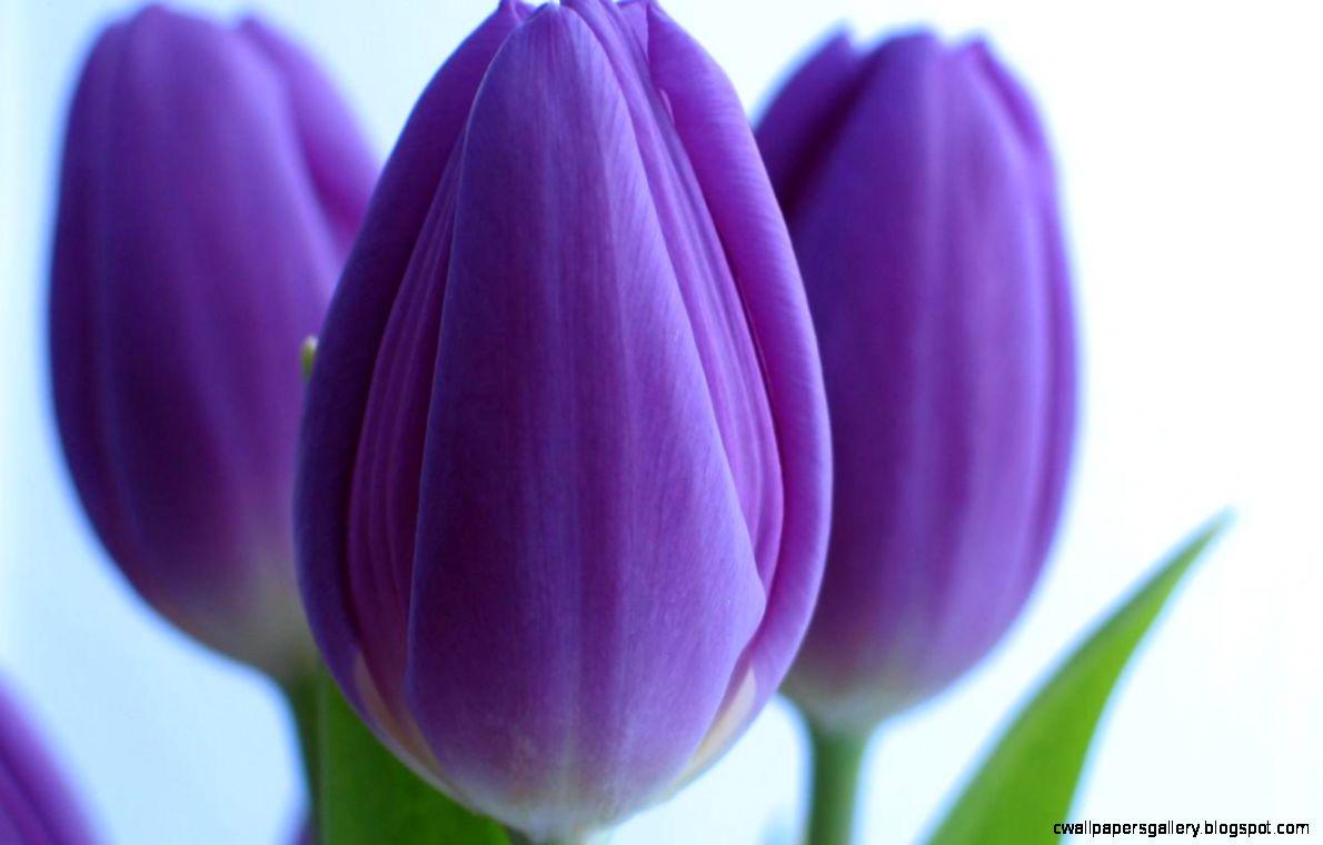 Purple Tulips wallpaper  1280x800  867