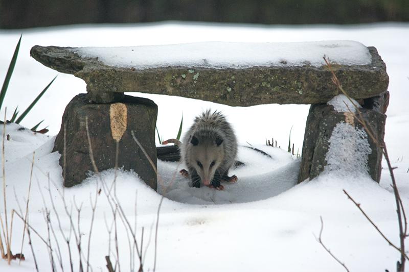 Possum in snow under stone bench